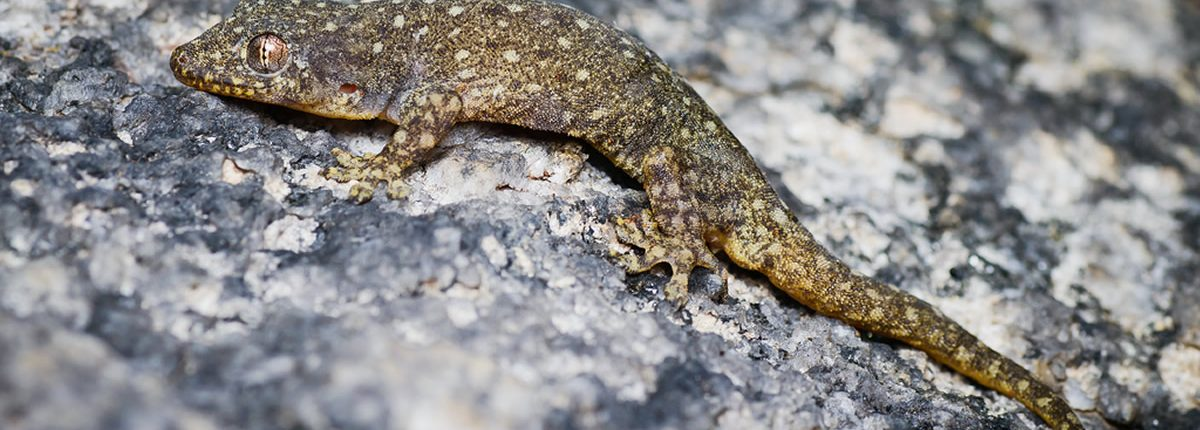Gehyra lacerata, Western four-clawed gecko - Cha-Am District
