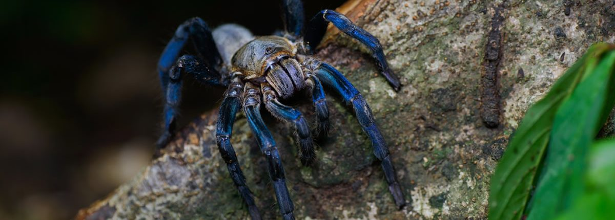 Haplopelma lividum, Cobalt blue tarantula - Kaeng Krachan District