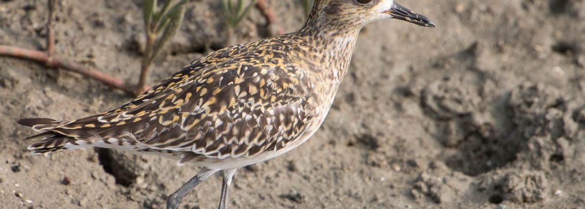 Pacific Golden Plover Phetchaburi
