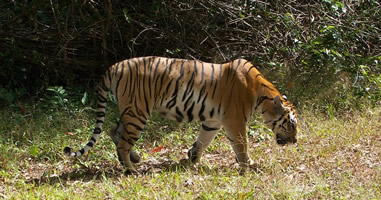 Tiger im Khao Yai National Park