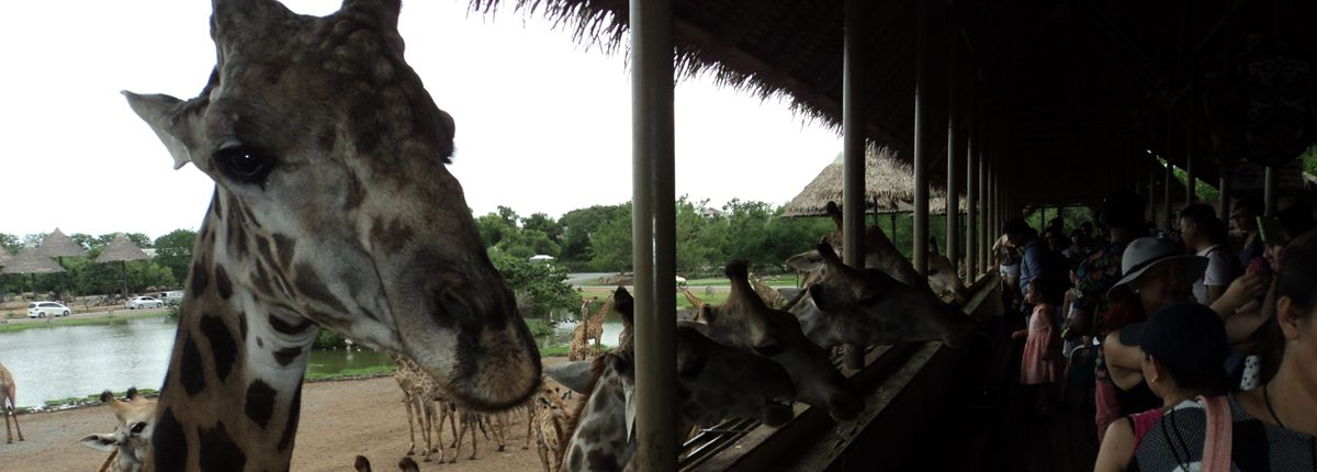 Safari World Bangkok Giraffen