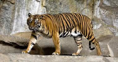 Indonesische Tiger